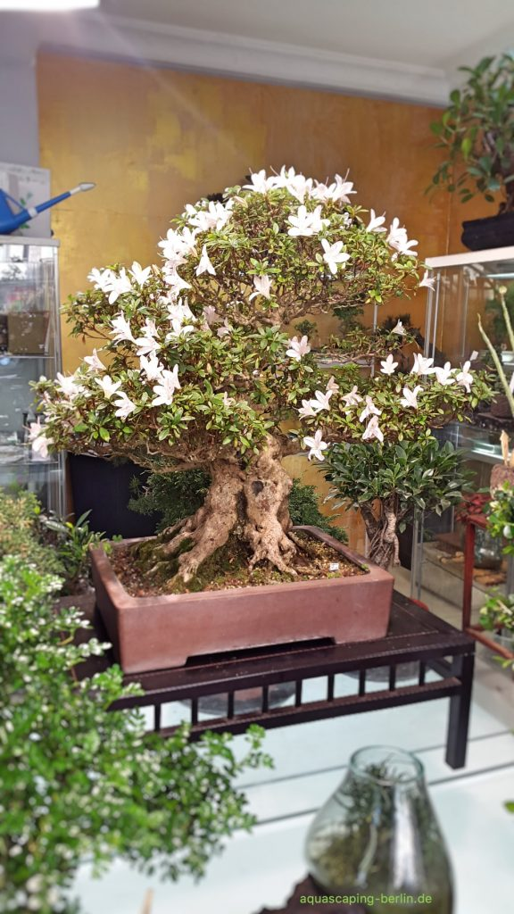 Bonsai mit Blüten