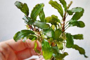 Bucephalandra - Wavy Leaf