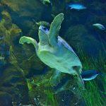 Schildkröte in einem Aquarium im Loro Parque
