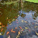 Riesen Koi Teich, Teneriffa