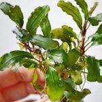 Bucephalandra Green Wavy Leaf