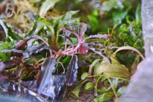 Bucephalandra sp. Kedagang