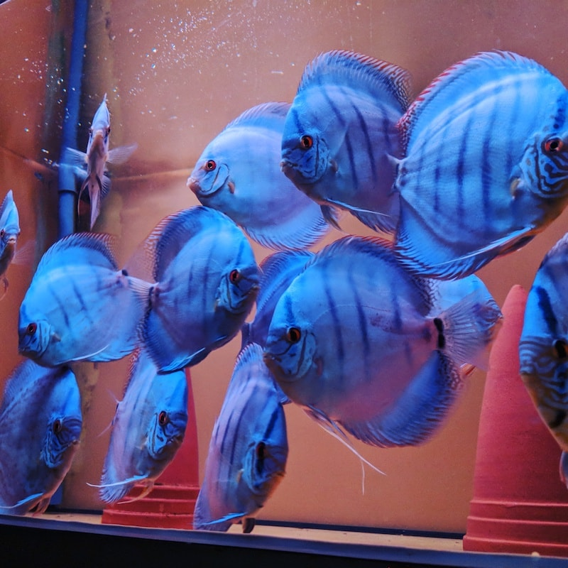 Cobalt Blue Discus / Cobalt blauer Diskusfisch