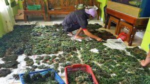 Bucephalandra Händler in Indonesien
