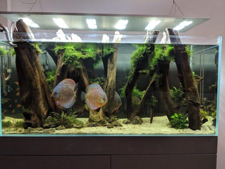 Aquarium in Aquascape-Stil mit Diskusbuntbarschen.