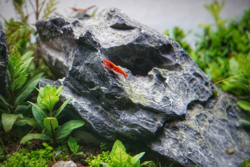 Zwerggarnelen im Aquascape (Iwagumi)
