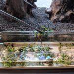 Marsilea-Hirsuta ist perfekt für das Aquascaping