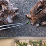 Bodendecker Marsilea-Hirsuta Australisches Zwergkleefarn