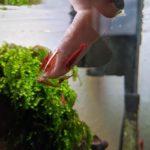 Garnelen im Nano Aquarium