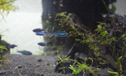 Blauer Neon – Paracheirodon simulans – Syn. Hyphessobrycon simulans
